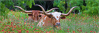 In the Texas Hill Country outside Llano, I came across these two Texas Longhorns resting in a field of Wildflowers.