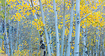 Aspens, Inyo National Forest, California