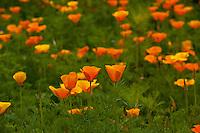 California poppy (Eschscholzia californica), Larkwhistle gardens, Bruce Peninsula, Ontario, Canada.
