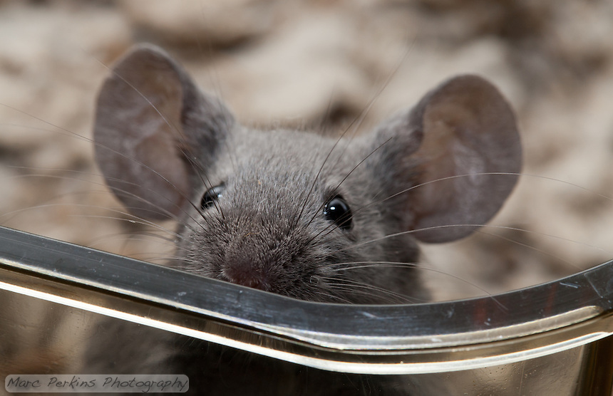 A gray male mouse with black eyes peers over the top of a clear plastic cage.  He's just poking his nose over, and looks like he's hesitantly wondering what, or who, is out there.