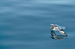 Pintardo Petrels