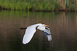 A Great Egret flies over a wetland near Lake Nokomis