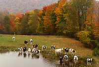 cows, pasture, fall, farm, Danby, VT, Vermont, Cows grazing in a field and drinking in a pond surrounded by colorful fall foliage in autumn in Danby.