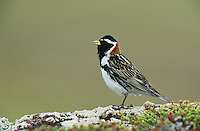Lapland Longspur, Calcarius lapponicus,male singing, Gednjehogda, Norway, Europe