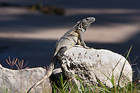 Iguana, Matanchen Bay, Mexico