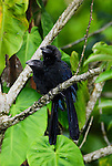 Groove-billed Ani, Crotophaga sulcirostris, Guayacan, Provincia de Limon, Costa Rica, Amphibian Research Center, pair perched on branch, Tropical Rainforest, two, 2.Central America....