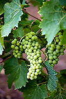Bunch of grapes on vine of Ferme de Charnaillas in the Dordogne France