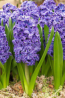 Purple-blue Hyacinth 8711