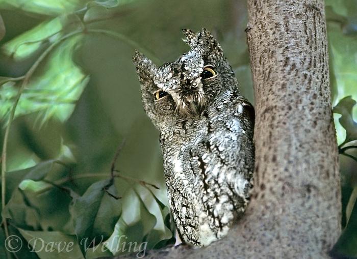 564165001 a wild scops owl otus scops perched in a tall tree in the masia mara reserve in kenya
