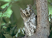 564165001 a wild scops owl otus scops perched in a tall tree in the masia mara reserve in kenya
