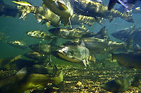 School of Chinook Salmon-Boardman River, Traverse City, MI.<br />