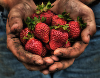 Farmer with dirt worn into the creases in his hands holds a handful of strawberries raised on his farm. The berries and other produce is for sale at a local farmers market.