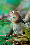 Chipmunk gathering food in the forest