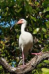 White ibis (Eudocimus albus), Rosario islands, Cartagena de Indias, Bolivar Department, Colombia, South America.