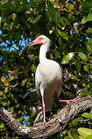 White ibis (Eudocimus albus), Rosario islands, Cartagena de Indias, Bolivar Department, Colombia, South America.