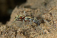305150007 a wild texas bullet ant genus pachycondyla at the entrance to its colony den on a ranch in the rio grande valley of south texas