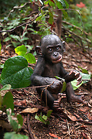 Bonobo male baby aged 10 months sitting on the forest floor (Pan paniscus), Lola Ya Bonobo Sanctuary, Democratic Republic of Congo.