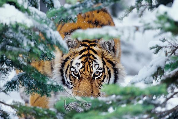 Siberian Tiger or Amur Tiger (Panthera tigris)