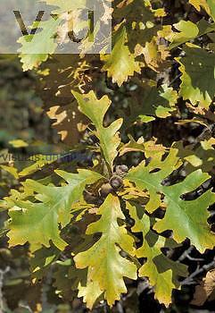 Oak leaves and acorns (Quercus macrocarpa), North America.