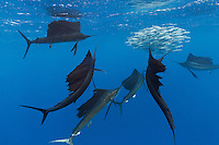 TK0175-Dr. Atlantic Sailfish (Istiophorus albicans) feeding on Spanish sardines (Sardinella aurita). The fastest fish in the sea, the sailfish is also very maneuverable and, working together with others, herds the baitfish toward the surface. Then the sails take turns racing into the baitball, using their sharp bills like swords to slash at the sardines, knocking one out of the school and stunning it, after which the sailfish swallows the sardine whole. Gulf of Mexico, Mexico, Caribbean Sea.<br /> Photo Copyright &copy; Brandon Cole. All rights reserved worldwide.  www.brandoncole.com