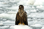White Tailed Sea Eagle, Haliaeetus albicilla, on sea pack ice, Okhotsk Sea, Rausu, Hokkaido Island, Japan, japanese, Asian, wilderness, wild, untamed, ornithology, snow, bird of prey, in flight, feathers, majestic, magnificent, gliding.Japan....