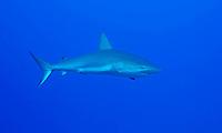 Silky Shark in Cuba