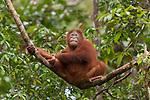 Bornean Orangutan (Pongo pygmaeus wurmbii) - juvenile.
