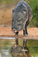 650520207 a wild javelina or collared peccary dicolytes tajacu drinks at a small pond on beto gutierrez ranch hidalgo county texas united states
