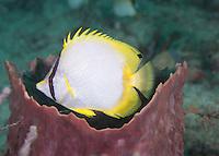 Spotfin Butterflyfish Hovering in a Barrel Sponge