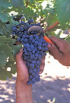 Picking Cabernet Sauvignon grapes