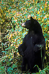 Black bear standing on hind legs in front of dogwood bushes