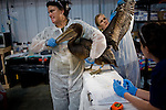 International Bird Rescue workers examine a heavily oiled pelican at Ft. Jackson, Louisiana.   Oil makes it difficult for birds to repel water, creating secondary issues related to thermoregulation...Jenn Bruno, DVM, Jeanie Beaston, Paraprofessional, Jocelyn Selin, DVM Student, and Erica Miller, DVM...Employees and volunteers from International Bird Rescue and Tri-State Bird Rescue and Research, Inc. work to triage incoming birds impacted by the Deepwater Horizon Oil Spill.  To date, the treatment facility has seen more than 800 birds brought in by wildlife workers for oil-related injuries and illnesses.  When a bird is covered in oil, it's ability to repel water is severely impacted, leaving many birds without the ability to thermoregulate, forage for food, or properly hydrate.  Incoming birds must first be stabilized, warmed, fed, and hydrated before they are candidates for cleaning.  Once cleaned of oil, the birds are monitored.  Once they are clean and stable, the birds are evaluated for re-release...Deepwater Horizon Oil Spill.  The spill is estimated to be gushing 35,000 to 60,000 barells of oil into the ocean per day.  Difficulties installing monitoring devices at the source have made this number difficult to clearly ascertain.  The spill is among the world's worst.