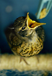 A baby robin is one of many who must be fed hourly at the Wildlife Care Center of the Portland Audubon..