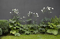 White anemones grow in a flowerbed against the grey-painted wall of the house