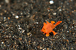 Baby Orange painted frogfish (Antennarius pictus) on the coral rubble. About 4mm in size.