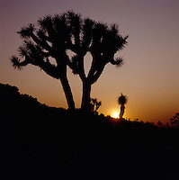 Photo of Joshua trees silhouetted against the orange glow of a desert sunset.
