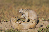 Black-tailed Prairie Dog (Cynomys ludovicianus), young at den playing, Theodore Roosevelt National Park, Badlands, North Dakota, USA