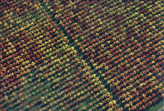 Aerial of fall vineyard near Calistoga, ca.