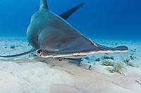 RR1794-D. Great Hammerhead Shark (Sphyrna mokarran), feeds on stingrays on the sand bottom, broad head has special sensory cells on underside. Bahamas, Atlantic Ocean.<br /> Photo Copyright &copy; Brandon Cole. All rights reserved worldwide.  www.brandoncole.com