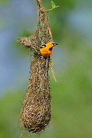 561820059c a wild adult altimara oriole icterus gularis perches on its pendulus hanging nest on a succulent plant in tamaulipas state mexico