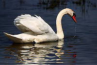 A mute swan in the marshes of Camargue, shining in the bright sunlight of midday.