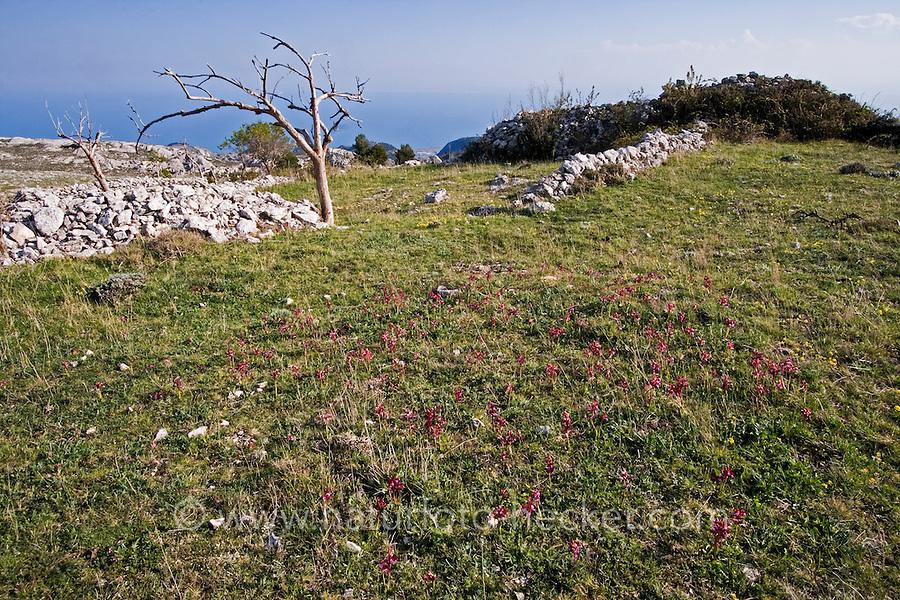 Schmetterlings-Knabenkraut, Orchis papilionacea, Anacamptis papilionacea, butterfly orchid, L'orchis papillon