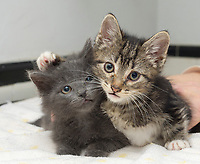 Six week old siblings, Scout, female (left) and Sonic, male, rescued cats, in Chelsea in New York on Tuesday, April 11, 2017.  (© Frances M. Roberts)