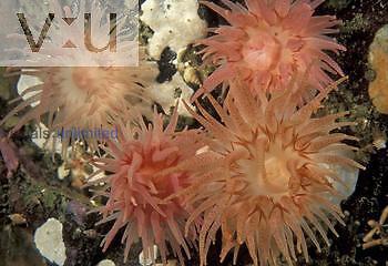 Crimson Sea Anenome ,Cribrinopsis fernaldi,, Pacific Coast of Northwest North America.