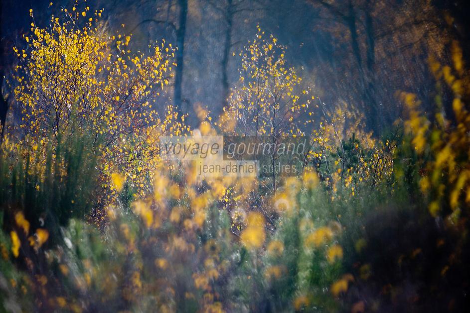 Europe/France/Centre/41/Loir-et-Cher/Sologne/Env de Neung-sur-Beuvron: La forêt solognote à l'automne  // Europe/France/Centre/41/Loir-et-Cher/Sologne/Near Neung-sur-Beuvron: Sologne  Forest in   autumn