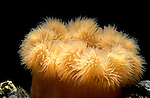 Plumrose Anemone, Metridium senile, orange colour with tentacles.United Kingdom....