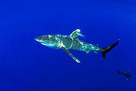oceanic whitetip shark, Carcharhinus longimanus, with pilot fish, Naucrates ductor, Big Island, Hawaii, Pacific Ocean