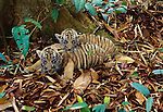Indochinese tiger cubs, Indonesia (captive)