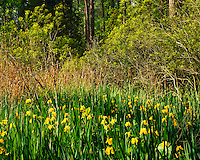 Spring Waterflags in Shoreline Forest, Colonial National Historical Park, Jamestown Island,   Virginia