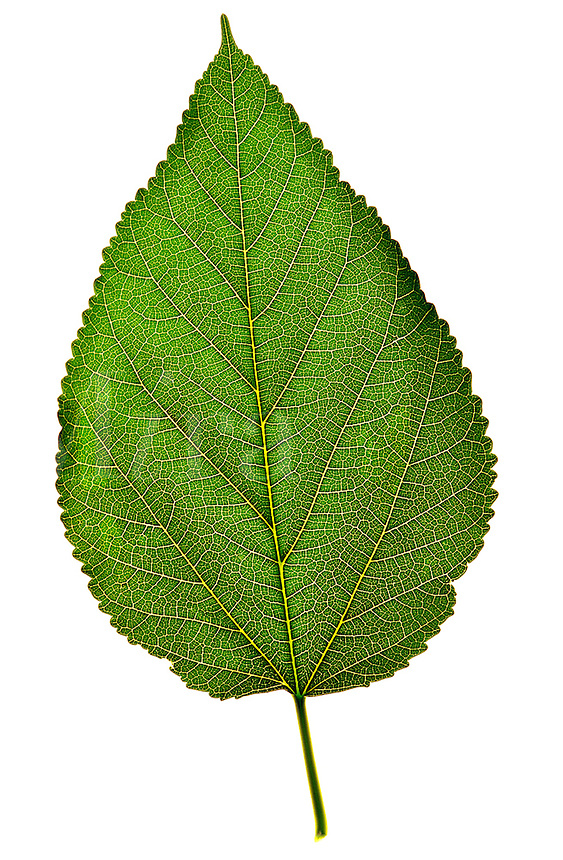 Close up of a single green leaf on a white background